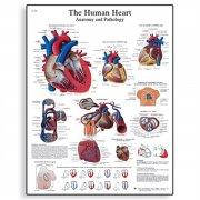 Εκπαιδευτική αφίσα καρδιάς 3B Scientific