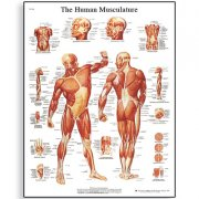 Εκπαιδευτική αφίσα μυϊκού συστήματος 3B Scientific