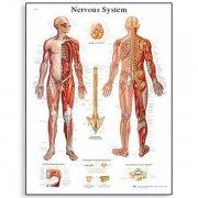 Εκπαιδευτική αφίσα νευρικού συστήματος 3B Scientific