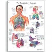 Εκπαιδευτική αφίσα αναπνευστικού συστήματος 3B Scientific