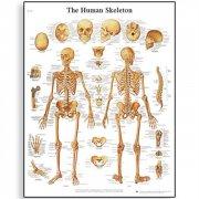 Εκπαιδευτική αφίσα ανθρώπινου σκελετού 3B Scientific