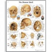 Εκπαιδευτική αφίσα ανθρώπινου κρανίου 3B Scientific