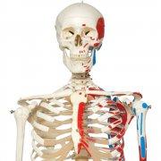Πρόπλασμα ανθρώπινου σκελετού Α10